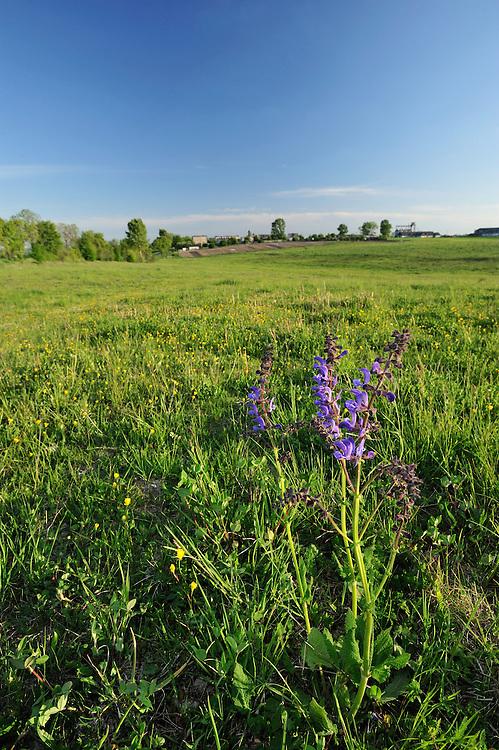 Meadow Clary, Salvia pratensis, Werbkowice-Zamosc, Sunsilks, Poland