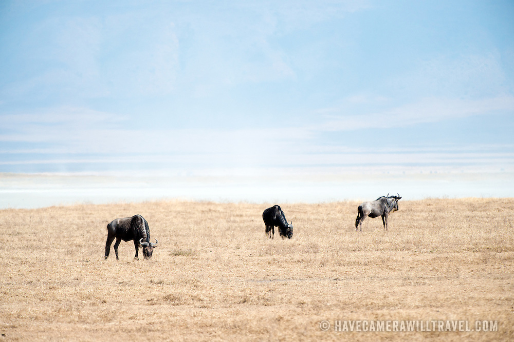 Wildebeest grazing at Ngorongoro Crater in the Ngorongoro Conservation Area, part of Tanzania's northern circuit of national parks and nature preserves.