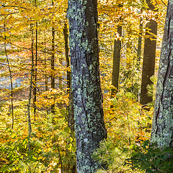 Fall colors in a mixed forest in Barrington, New Hampshire.