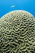 Grooved Brain Coral (Diploria labyrinthiformis)<br /> BONAIRE, Netherlands Antilles, Caribbean<br /> HABITAT & DISTRIBUTION: Seawood slope of reefs.<br /> Florida, Bahamas & Caribbean.