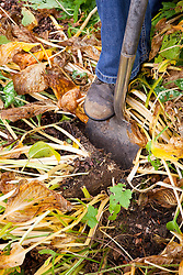 Dividing a hosta. Digging out a wedge shaped slice with a spade