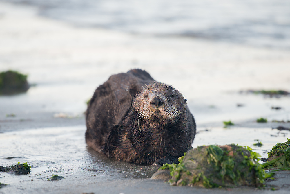 A sea otter (Enhydra lutris) at Moss Landing in Monterey Bay, California. Photo by William Drumm, 2013.