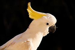 Cockatoo (Cacatuidae), Hamilton Island, Queensland, Australia