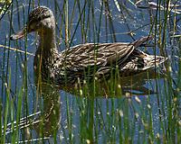 Female Mallard (Anas platyrhynchos). Lily Lake. Rocky Mountain National Park, Colorado. Image taken with a Nikon D2xs camera and 80-400 mm VR lens.