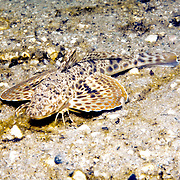 Leopard Searobin inhabit bays and coastal areas of sand and rubble in Florida, Gulf of Mexico and Caribbean (not reported Bahamas); picture taken Blue Heron Bridge, Palm Beach, FL.