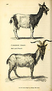 Common goat male and female from General zoology, or, Systematic natural history Vol II Part 2 Mammalia, by Shaw, George, 1751-1813; Stephens, James Francis, 1792-1853; Heath, Charles, 1785-1848, engraver; Griffith, Mrs., engraver; Chappelow. Copperplate Printed in London in 1801 by G. Kearsley