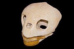 skull of loggerhead turtle, Caretta caretta, endangered species