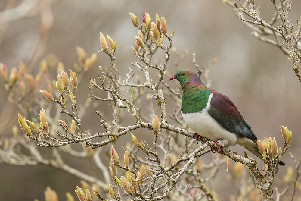 A New Zealand Wood Pigeon perched on a budding tree in the spring.