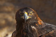 Stock photo of captive golden eagle captured in Colorado.  This large eagle will mate for life. They even migrate together. Golden eagles feed on rabbits, foxes, squirrels and young deer.