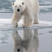 Polar bear in Svalbard, Norway.