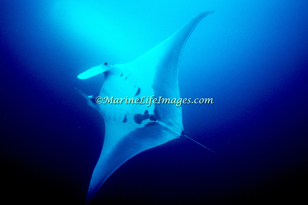 Oceanic Manta Ray inhabit open water around the world in tropical and subtropical climates; picture taken Jamaica.
