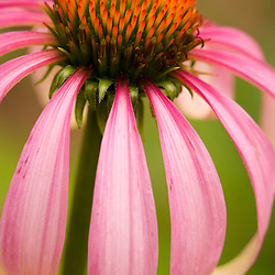 A flowering purple coneflower (echinacea purpurea) at the Oakland House Seaside Resort in Brooksville, Maine.  Blue Hill Peninsula.  East Penobscot Bay.