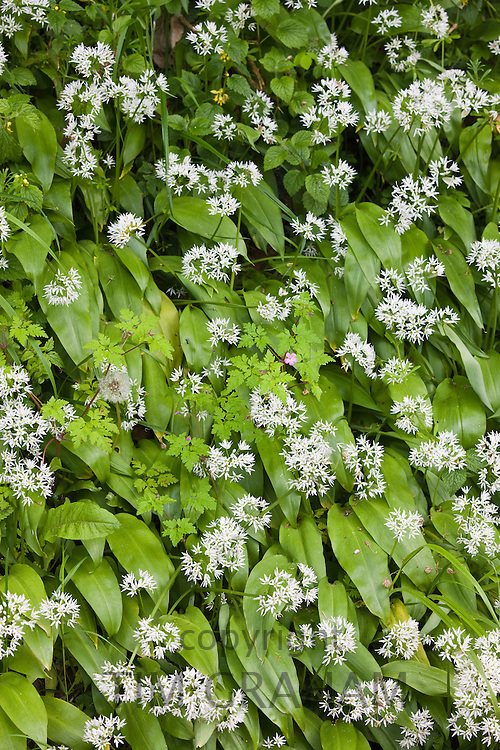 Wild garlic, ransoms, in hedgerow in Gloucestershire