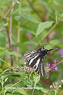 03006-00311 Zebra Swallowtail (Eurytides marcellus) on Butterfly Bush (Buddleia davidii) Marion Co., IL