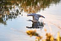 Great Blue Heron (Ardea herodias). Black Point Wildlife Drive. Merritt Island National Wildlife Refuge. Image taken with a Nikon D3s camera and 200-400 mm f/4 lens.