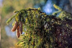 Fijnspar, Picea abies