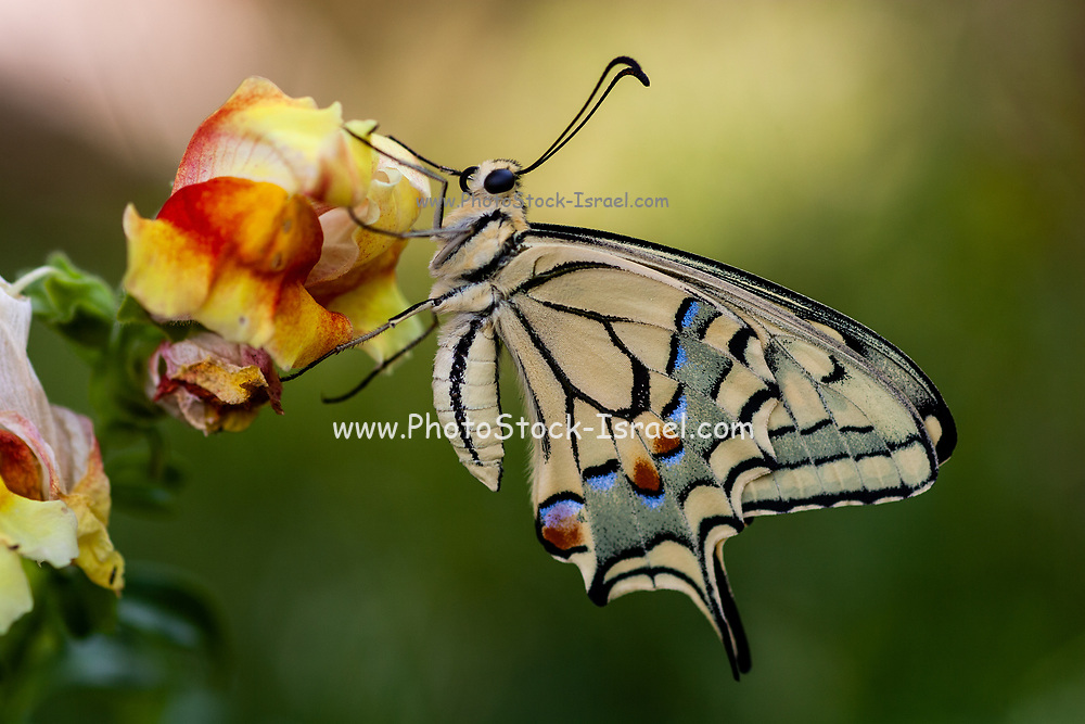 Old World Swallowtail (Papilio machaon) AKA Common yellow swallowtail Butterfly on a flower Photographed in Israel, Summer July. This species, is native to Europe and Asia.