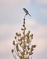 Loggerhead Shrike (Lanius ludovicianus). Salt Basin Dunes, Guadalupe Mountains National Park, Texas. Image taken with a Nikon D2xs camera and 80-400 mm VR  lens.