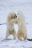 01874-11415 Polar Bears (Ursus maritimus) sparring, Churchill Wildlife Management Area MB
