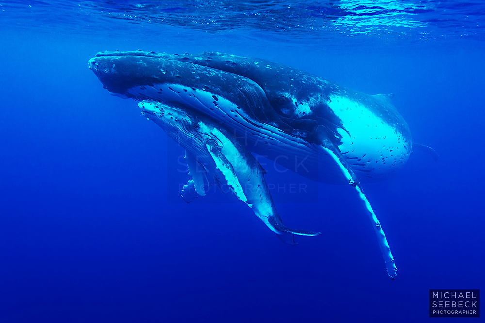 A Humpback Whale mother & calf in Pacific Ocean waters near Tonga.