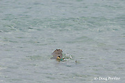 blackfin or blacktip reef shark, Carcharhinus melanopterus, swims off with a crested tern chick, Sterna bergii or Thalasseus bergii, that has been washed out into the sea as the rising tide laps at the shore of Turu Cay, Torres Strait, Queensland, Australia, #3 in sequence of 3
