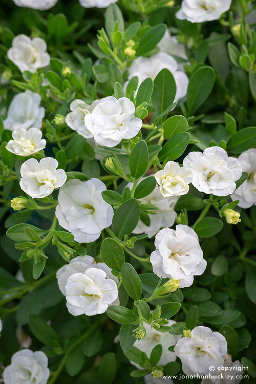 Calibrachoa Can Can 'Double White Improved' - Million bells