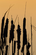 Cat Tails at Dusk
