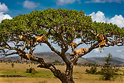 A pride of lions climb up into a saugage tree to escape from biting flies and cool off from a breeze.