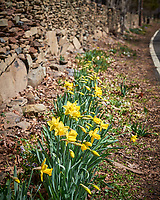 Daffodils. Image taken with a Leica SL2 camera and 90-280 mm  lens.