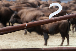 Bison in pen 2 during bison roundup, Ladder Ranch, west of Truth or Consequences, New Mexico, USA.