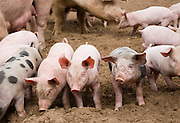 Sows and piglets outdoors free range farming pork production, Butley, Suffolk, England