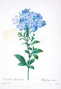 19th-century hand painted Engraving illustration of a Plumbago caerulea, also known as leadwort flower, by Pierre-Joseph Redoute. Published in Choix Des Plus Belles Fleurs, Paris (1827). by Redouté, Pierre Joseph, 1759-1840.; Chapuis, Jean Baptiste.; Ernest Panckoucke.; Langois, Dr.; Bessin, R.; Victor, fl. ca. 1820-1850.