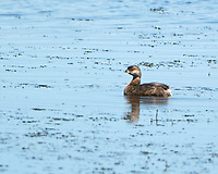 Pied-billed Grebe (Podilymbus podiceps). Arapaho National Wildlife Refuge, Colorado. Image taken with a Nikon D2xs camera and 400 mm f/2.8 lens.