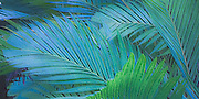 Design of Tiger Palms - Pinanga Maculata