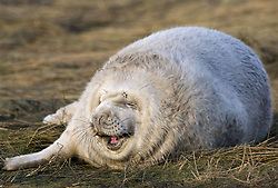July 21, 2019 - Seal Lying On Grass (Credit Image: © John Short/Design Pics via ZUMA Wire)