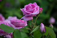 Rosa 'Jacques Cartier' in the Italian Garden at Chiswick House, London, UK