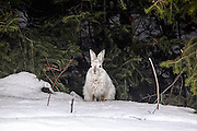 Varying (Snowshoe) Hare