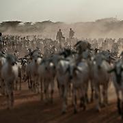 Kenya, Dadaab, le 13-08-11 -  Si la sécheresse venait à se poursuivre cet automne, la situation deviendrait catastophique pour ces populations de fermiers dont les troupeaux restent le seul moyen de subsistance.