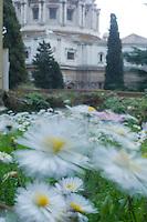 Common daisy {Bellis perennis} in Vatican's garden, Rome, Italy
