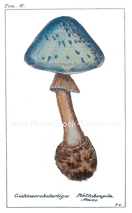 """Original mushroom print.This print has the original frame.It is marked """"Tom IV"""" on the top and """"Pavillon"""" on the bottom. The mushroom is in color and titled """"Gichtmorchelartiger Pluttchenpilz"""""""