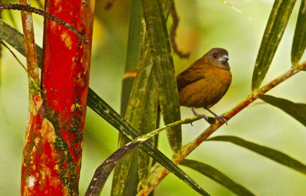 Female Scarlet-romped Tanger, ramphocelus passerinii,  Arenal Cloud Forest, Costa Rica