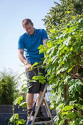 Summer pruning a climbing grape vine on a pergola. Shortening long stems. Vitis