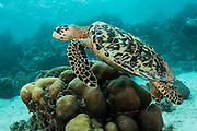 Hawksbill Turtle (Eretmochelys imbricata)<br /> Hol Chan Marine Reserve<br /> near Ambergris Caye and Caye Caulker<br /> Belize<br /> Central America