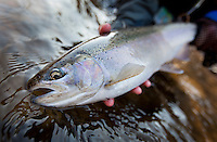 chrome bright steelhead, Salmon River, New York