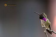 Costas Hummingbird at the Arizona Sonoran Desert Museum in Tucson, Arizona, USA