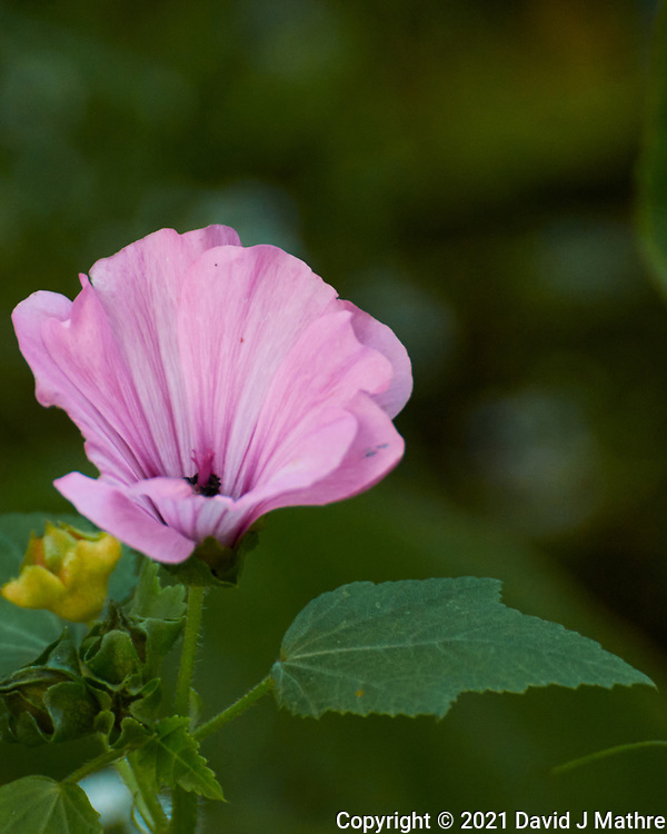 Rose Mallow. Image taken with a Nikon 1 V3 camera and 70-300 mm  VR lens.