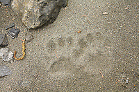 Mountain Lion tracks in sand along the Chetco River, Oregon.
