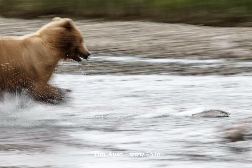 Grizzlies in coastal Alaska regularly fish the inlets for salmon, and those in California probably had similar ways. Bears were observed using their paws to fish along the coast in San Mateo Co.