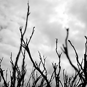 Wind-twisted and fire-charred shrubs on the Great Ocean Road, Victoria, Australia.