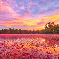 New England fall foliage and cranberry bog photography of floating cranberries at sunrise, photographed at the Spring Rain Farm in East Taunton, Massachusetts.